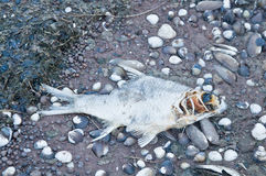Dead Fish on Coast Royalty Free Stock Images