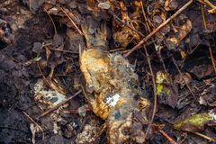 Dead fish in decomposition. Close view royalty free stock photo