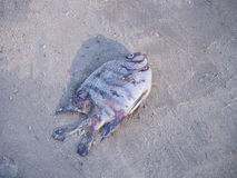 Dead fish died aground on a beach. Dead fish died aground on sand at a beach Royalty Free Stock Photography