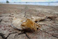 Dead fish drought lake  heat Royalty Free Stock Image