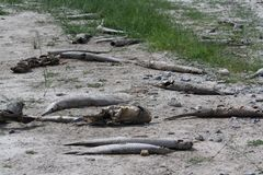 Dead Fish Drought Tom Green County Texas Stock Photos