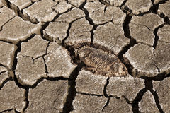 Dead fish on dry land. Dead fish trapped on dry land royalty free stock photo