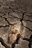 Dead fish on dry land. Dead fish trapped on dry land Stock Photos