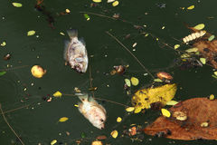 Dead fish floated in the dark water. Stock Photos