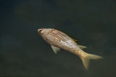 Dead fish floated in the dark water Royalty Free Stock Photography