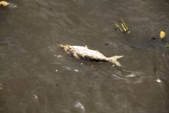 Big fish die floating in river. Dead fish floated in the dark water, water pollution stock photos