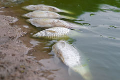 Dead fish floated in the green waste water. Stock Images
