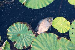 Dead fish floating in the dark water pollution with green plants in waste lake. Dirty nature toxic polluted background animal river ecology danger environmental royalty free stock photography