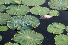 Dead fish floating in the dark water pollution with green plants in waste lake. Dirty nature toxic polluted background animal river ecology danger environmental stock image
