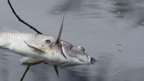 Dead Fish. A dead fish is floating in the water with a fly sitting on it stock video footage
