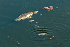 Dead Fish floating in Polluted Water Royalty Free Stock Photography