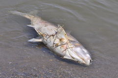 Dead Fish Floating On Water Stock Photo