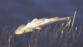 Dead fish floats on the water. 4K stock footage