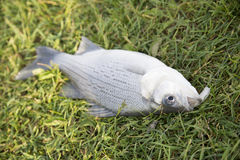 Dead fish Stock Image