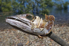 Dead fish head carcass Royalty Free Stock Photo