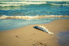 Free Dead Fish In The Seaside By Contaminated Water. Climate Change Royalty Free Stock Images - 160892679