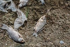 Dead fish on the pond. Dead fish on the lake. Contamination by chemicals pond Royalty Free Stock Images
