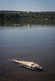 Dead fish in lake Stock Image