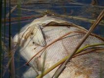 Dead fish Stock Image