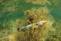 Dead fish in old net. Environmental conservation problem: dead fish stuck in abandoned old fishing net Stock Image