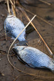 Dead fish in polluted pond/river/lake Stock Images