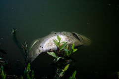 Dead Fish in Polluted Water Royalty Free Stock Photos