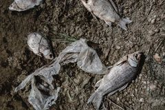 Dead fish on the pond. Dead fish on the lake. Contamination by chemicals pond Stock Image