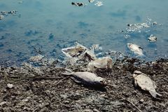 Dead fish on the pond. Dead fish on the lake. Contamination by chemicals pond Royalty Free Stock Image