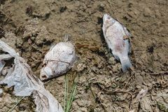 Dead fish on the pond. Dead fish on the lake. Contamination by chemicals pond Stock Photos