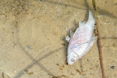 Dead fish in pond Stock Image