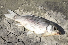 Dead fish on pond shore Stock Photography