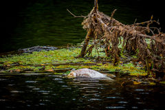 Dead fish in the river. Environmental disaster. Marine fish in the rivers because of the pollution of river waters Royalty Free Stock Photography