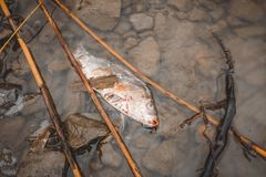 Dead fish on the river polluted water. Royalty Free Stock Image