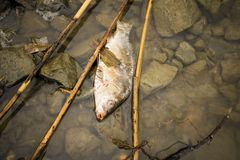Dead fish on the river polluted water. Stock Images