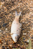 Dead fish in the river Stock Image