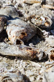 Dead fish  in the Salton Sea Royalty Free Stock Photography