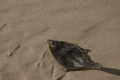 A dead fish on sand Stock Photos