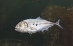 Dead fish in the sea Stock Photo