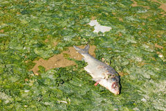 Dead fish on seaweed on beach at low tide, North Sea coast, Neth Stock Photography