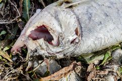 Dead fish Royalty Free Stock Photos