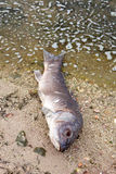 Dead fish on the shore of a lake Stock Photos