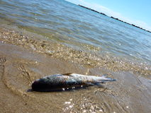 Dead fish on the shore Stock Photography