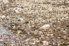 Dead fish and sick goose after lake drainage at Royal Lake Park in Fairfax, Virginia Stock Image