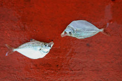 Dead fish on the stern of sailing boat in the sea. Royalty Free Stock Photos