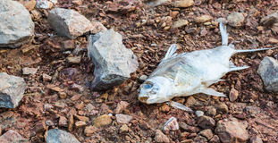 Dead fish Royalty Free Stock Image