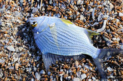 Dead fish - Tilapia royalty free stock image