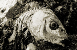 Dead Fish Washed up on the Rocks. Stock Images