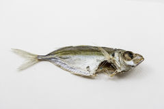Dead fish in white background. Stock Photos