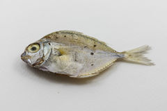 Dead fish in white background. Royalty Free Stock Images