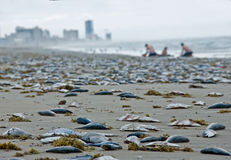 Dead fishes during red tide Royalty Free Stock Image